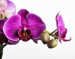 orchid buds (ishinonagare) Tags: distagonotus5514zf otus1455 zf2 general nikon d810 zeiss flower purple flowerbud orchidbud