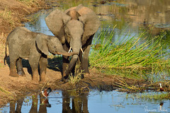 Young elephants at the waterhole (Sumarie Slabber) Tags: elephants sumarieslabber southafrica wildlife krugernationalpark water wild baby birds big5 nature safari photography photo warmlight nikon waterhole river explore inexplore