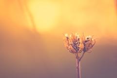 Unbend (Stefan (ON/OFF)) Tags: bokeh dof dephtoffield depthoffield shallowdepthoffield spring decay plant nature macro proxy pflanze blume verwelkt flower beautiful sunset cream blur sonya7m2 sonya7ii sonyalpha7 samyang1352 samyang samyang2135