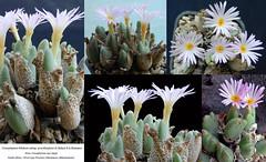 Conophytum bilobum ssp. gracilistylum,(collage)