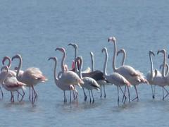 Phoenicopterus roseus (Pallas, 1811) - Greater Flamingo (Peter M Greenwood) Tags: phoenicopterusroseus greaterflamingo phoenicopterus roseus greater flamingo