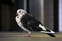 Dove (AdrianoSetimo) Tags: pomba paloma dof colégiosãovicentedepaulo panasoniclumixgvario45200mmf4056 panasonic45200mm olympusomdem10 mkii em10mkii riodejaneiro mft m43 ngc