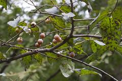 Ebenaceae: Diospyros sp. 3a (K. Zyskowski and Y. Bereshpolova) Tags: ebenaceae diospyros persimmon fruit china