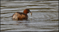 28.02.17  Little Grebe...