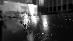 New York - New York - 9/11 Memorial - white birthday rose (riese.laurenc) Tags: usa newyork city citylights streets streetphotography bigapple worldtradecenter worldtrade freedomtower freedom tower central centralpark skyline streetsofnewyork hudson christmas empirestate building rockefeller brooklyn manhatten radiocity hall newjersey new jersey brooklynbridge park brooklynbridgepark manhattan bridge manhattanbridge mta subway map mtasubwaymap rockefellercenter center oneworldtradecenter bowbridgeimcentralpark bow im flatiron flatironbuilding groundzero