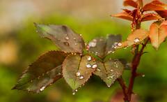 Raindrops on Rose Leaves 0039 (918monty) Tags: rain raindrops weather leaves roseleaves richardsontexas rosebush waterbaubles rainydayleaves fabulousfoliage