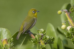 Japanese white-eye (Peter Stahl Photography) Tags: japanesewhiteeye whiteeye hawaii maui winter