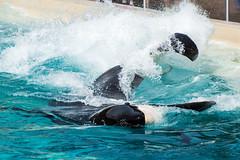 Keet (Jennifer Stuber) Tags: seaworld seaworldsandiego orca killerwhale orque shamu shamustadium cetacean orcinusorca orcinus black white nikond750 nikon swc swsd