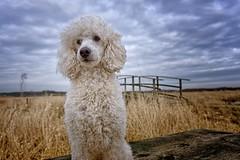 11/52 Ludvig in the cold spring weather (Graaspurv) Tags: 52weeksfordogs poodle ludvig coldafternoon nosun