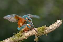 Working on a next gen. (jolanda den hartog) Tags: alcedoatthis ijsvogel netherlands kingfisher d800 nature natuur ngc nikon alblasserwaard paren mating