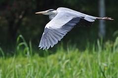 DSC_0111 (popopo_2004) Tags: bird osaka  hirakata   d5000 20130514