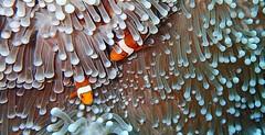 False Clown Anemonefish - 眼斑海葵鱼、公子小丑鱼