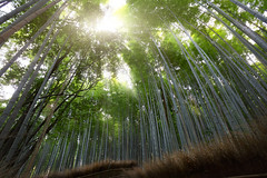 Bamboo forest (Patrick Foto ;)) Tags: park wood plant tree green nature rain japan forest garden asian japanese leaf stem flora kyoto asia branch grove outdoor background pipes decoration culture fresh bamboo foliage growth arashiyama jungle jp zen tropical greenery stick serene fengshui lush oriental climate feng dense vitality kytoshi kytofu