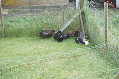Birds (mlcastle) Tags: faroeislands faroe froyar nlsoy