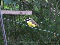 IMG_8663- Benteveo común (Pitangus sulphuratus) (Claudio Vázquez @ cvphotoart) Tags: argentina birds aves provinciadebuenosaires buenosairesprovince canonsx20is