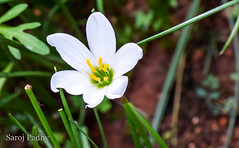 flower (SarojPadhy) Tags: flower flowerwatcher