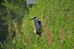 DSC_0004 (popopo_2004) Tags: bird osaka  hirakata   d5000 20130514
