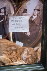 Please don't tap (Bashed) Tags: sleeping cute male window sign cat ginger display tabby yorkshire photographers whitby vic catbed reeves
