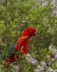 The Inquisitive Visitor (aussiegall) Tags: bird native australian feathers parrot colourful kingparrot