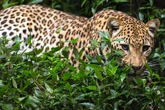 Jaguar (Scriblerus) Tags: cat bigcat jaguar memphiszoo acinonyxjubatus