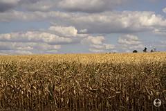 Sonnar 90mm 2.8 (Ney Bokeh) Tags: field corn mf 90mm maize a7 sonnar carlzeiss contaxg