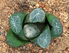 Haworthia 22 (scenescape-partners) Tags: cactus india plant succulent aloe nursery lithops euphorbia variegated agave haworthia cycas rare sansevieria gasteria zamia jatropha scenescape caudiciform monstrose encphalartos