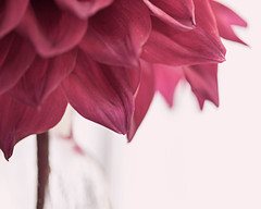 Perfectly Imperfect (Explored) (lclower19) Tags: dahlia flora flower pink red dof shallow odc promptaddicts closeup macro atsh odt perfect