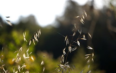 Stalks in the Wind (Heather's Reflections Photography) Tags: california nature grass dead windy yellowgrass goldengrass
