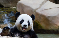 Giant Panda (saish746) Tags: china california bear white black cute green nature animal canon giant mammal zoo is log panda fuzzy outdoor centre conservation national malaysia kualalumpur usm sichuan kl xing pandas negara ef70200mm f4l