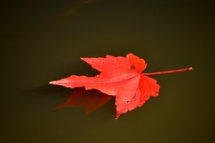 Floating (NC Mountain Man) Tags: fall autumn leaf ncmountainman nikon d3200 phixe close up water pond fall2015 mapleleaf maple reflection dof lowresolutionversion