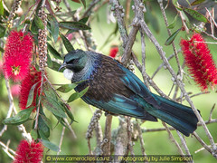 Tui look side (Photography by Julie Simpson) Tags: tui tuis nzbirds ptx nztui