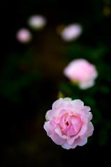 Timeline - Nikon D3s & Nikon AF-S Nikkor 24mm f/1.4G ED (TORO*) Tags: plant black blur flower rose japan garden ed nikon time bokeh f14 14 line timeline osaka 24 24mm af nikkor afs nakanoshima f14g d3s