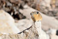 American (Wasatch) pika (Ochotona princeps wasatchensis) (rangerbatt) Tags: pika mountain wildlife mamal small highaltitudeanimal nikon d5300 nikond5300
