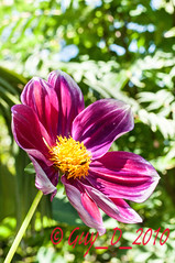 Dahlia (Guy_D_2010) Tags: flower nikon bokeh flor blumen blomma quintaflower bunga  fiore blomst gul virg hoa bloem lill blm iek  kwiat blodyn   lule kukka d90   cvijet  blth cvet  zieds  gl kvtina kvetina floare  languageofflowers   fjura   nikoniste pixelistes nikonfrance flowersarefabulous  voninkazo