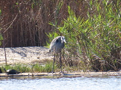 Great Blue Heron - Texas by SpeedyJR (SpeedyJR) Tags: nature birds texas wildlife greatblueheron herons nationalwildliferefuge nwr anahuacnationalwildliferefuge anahuacnwr chamberscountytexas speedyjr ©2015janicerodriguez