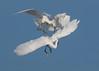 Piggyback (PeterBrannon) Tags: bird egrettathula florida nature sarasota snowyegret wadingbird wildlife fightingegret sunrise territory