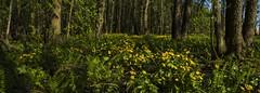 Rentukkametsää (kimblenaattori) Tags: flower flowers plant green rentukka caltha palustris marsh marigold kingcup yashica ml 28mm f28 finland