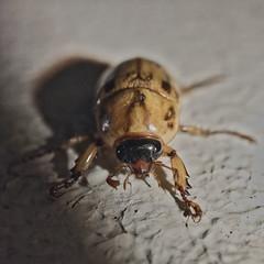 Golden-Brown-Tan Scarab Beetle - Scarabaeidae species - Barton - ACT - Australia - 20170102 @ 02:17 (MomentsForZen) Tags: golden tan brown scarabaeidaefamily scarabbeetle beetle snapseed exifeditor aurorahdr pixelmator lightroom xnviewmp photosync iexplorer iphone7plus iphone mmfz mfz minimomentsforzen momentsforzen