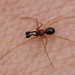 tiny male spider - Neottiura bimaculata (Theridiidae)