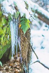 Eiszeit (Dirk Hoffmann Fotografie) Tags: green nature natur nationalpark saxony switzerland sächsische schweiz saxonswitzerland elbsandstein snow ice eis farn macro detail