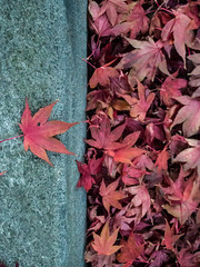 Celebrity status (Caroline Oades) Tags: leaves red gutter kerbside sidewalk pavement autumn fall 305366 90 31102016 celebrity worship lauded admiring setapart specialanddifferent special vip important