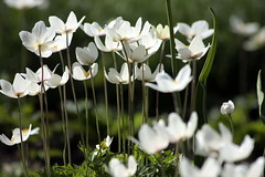 Flowering. EXPLORE (Janina Leonaviciene) Tags: flower pavasaris spring gele white lithuania lietuva garden sodas explore explored explorewinnersoftheworld platinumheartaward