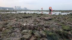Fluted giant clam (Tridacna squamosa) (wildsingapore) Tags: pulau tekukor mollusca bivalvia tridacnidae tridacna squamosa shore singapore marine coastal intertidal seashore marinelife nature wildlife underwater wildsingapore city