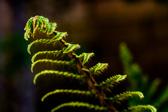 Fern's will work. (Omygodtom) Tags: fern existinglight flickr outdoors green macro macromonday tamron90mm texture digital senery setting scene scenic nature natural nikon d7100