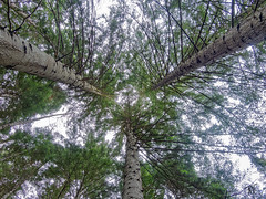top of firs (Tonio06fr) Tags: wood trees daylight natural tree forest top day firs under fir daytime mountain