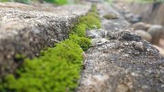 . (manu_chaux) Tags: moss flower