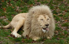 Bleh, I don't like vegetables ! (joeke pieters) Tags: 1310438 panasonicdmcfz150 ouwehandsdierenpark rhenen gelderland nederland netherlands holland leeuw afrikaanseleeuw pantheraleo lion löwe africanlion male