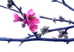 IMG_0119 (marinetteromico) Tags: fleurs rose branche cognassierdujapon jardin hiver froid soleil