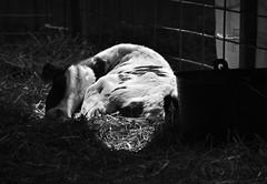 Calf Snooze (MTSOfan) Tags: calf cow bovine agriculturalfair nap snooze asleep sleeping