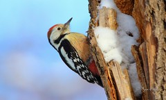 Middle spotted woodpecker (Dendrocopos medius) a (Igor Falin) Tags: middlespottedwoodpeckerdendrocoposmediusanimals bird middle woodpecker dendrocopos tree forest nature pecker wild woodland portrait outdoors trunk wildlife photography feather young beauty environment watching springtime day wood beak